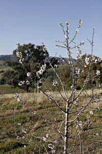 Flowering Almond Tree Credit to Wikipedia